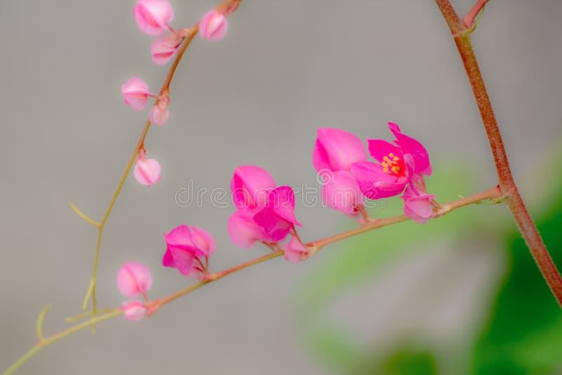 Antigonon-leptopus Blume ist ein Blumenstrauß des kleinen Rosas stockbild