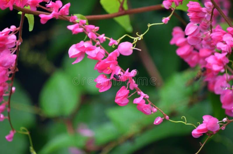 Antigonon leptopus. Species of Antigonon leptopus known as the flower of bridal tears in Malaysia stock photography