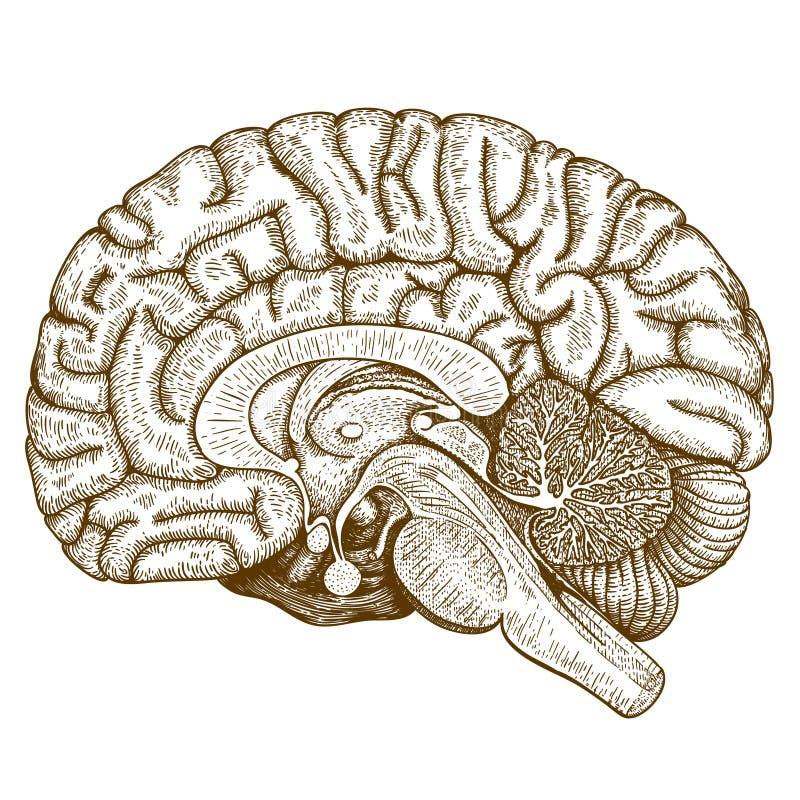 Antik illustrationhjärna för gravyr stock illustrationer