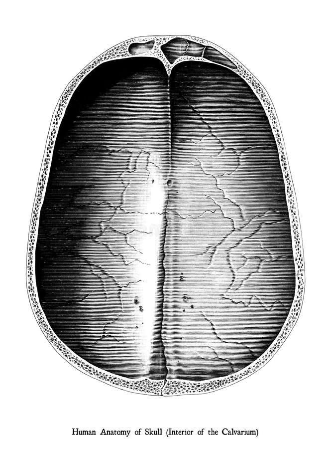 Antik inrista illustration av inre av det Calvarium skalletvärsnittet som isoleras på vit bakgrund vektor illustrationer