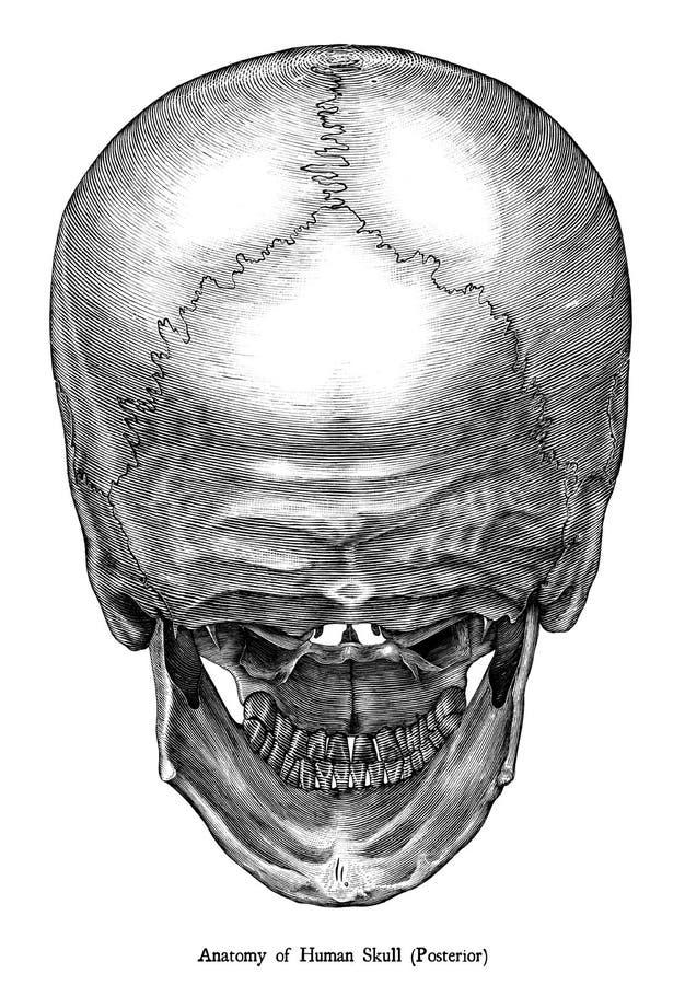 Antik inrista illustrationgemkonst av den senare sikten för mänsklig skalleanatomi som isoleras på vit bakgrund stock illustrationer