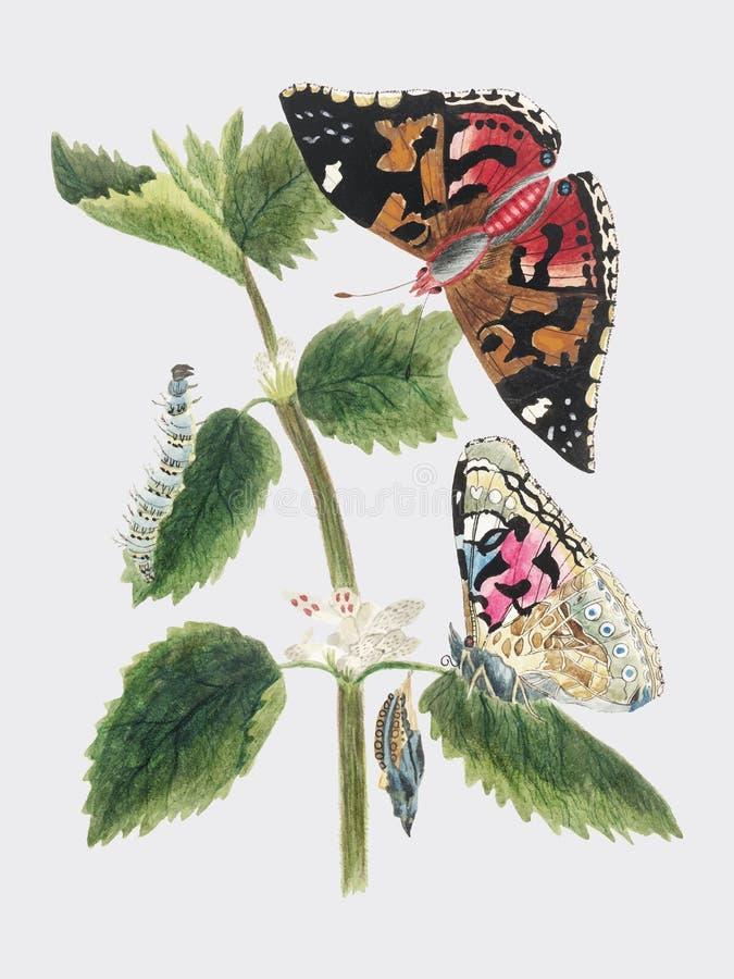 Antike Aquarellillustration des Nesselschmetterlinges in den verschiedenen Lebenstadien veröffentlichte im Jahre 1824 durch M P D lizenzfreie abbildung