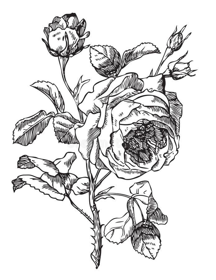 antikviteten steg vektor illustrationer