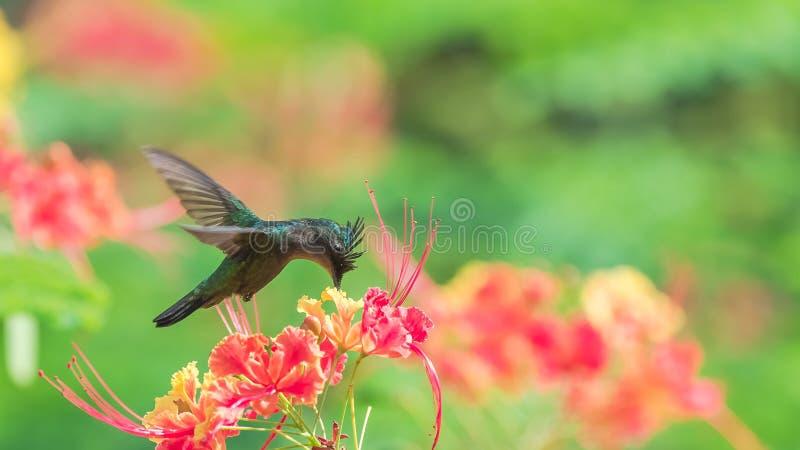 Antillean crested колибри, птица стоковая фотография