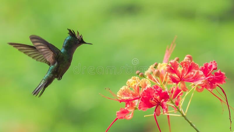 Antillean crested колибри, птица стоковое изображение