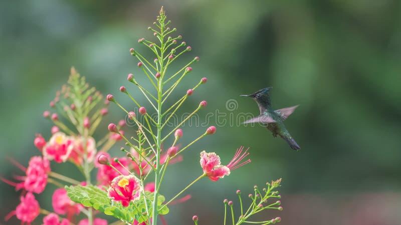Antillean crested колибри, птица стоковые фотографии rf