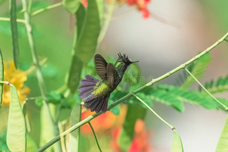 Antillean crested колибри, птица стоковые изображения