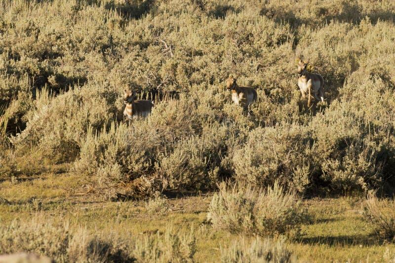 Antilocapra антилопы американский в Йеллоустоне стоковая фотография rf