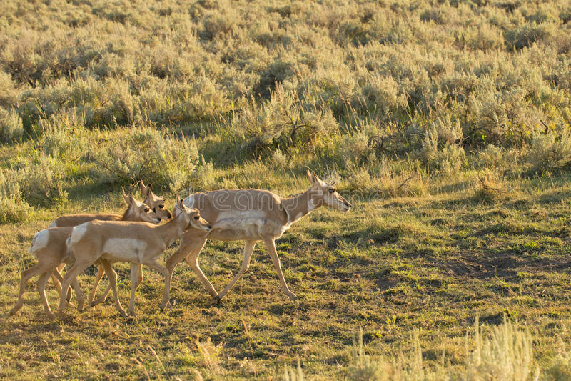 Antilocapra americano do antílope em Yellowstone fotos de stock