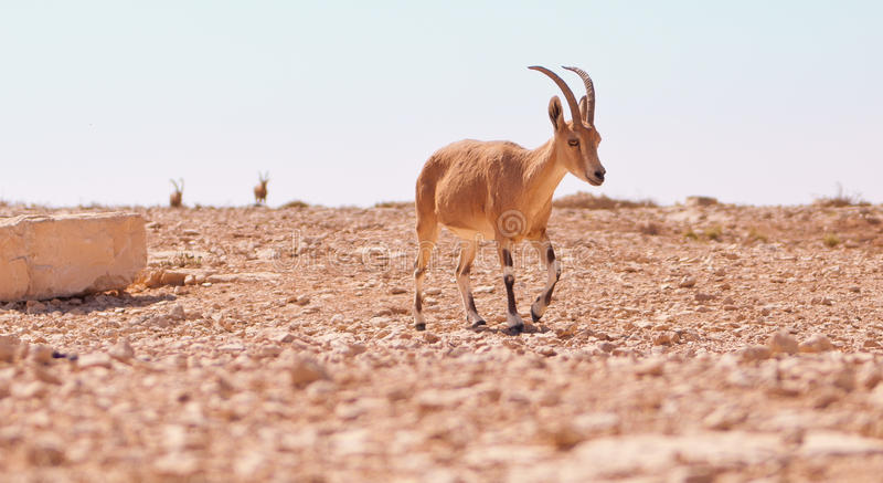antilopöken royaltyfri foto