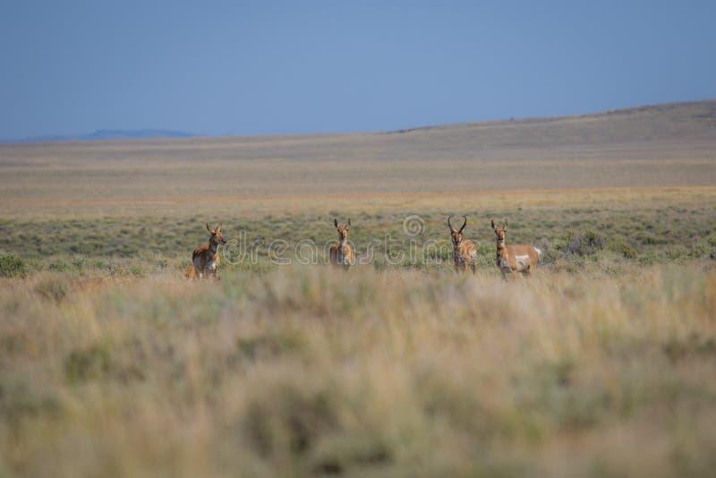 Antilop i öknen arkivfoton
