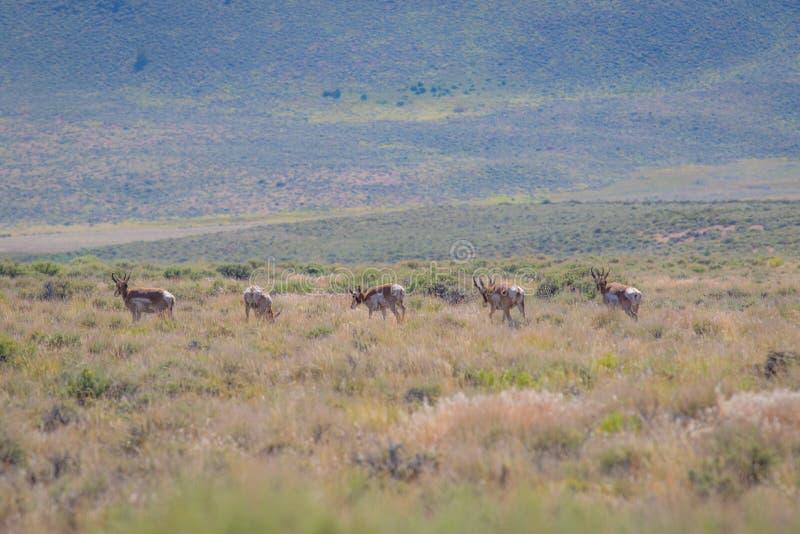Antilop i öknen royaltyfri foto