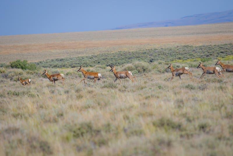 Antilop i öknen royaltyfri bild