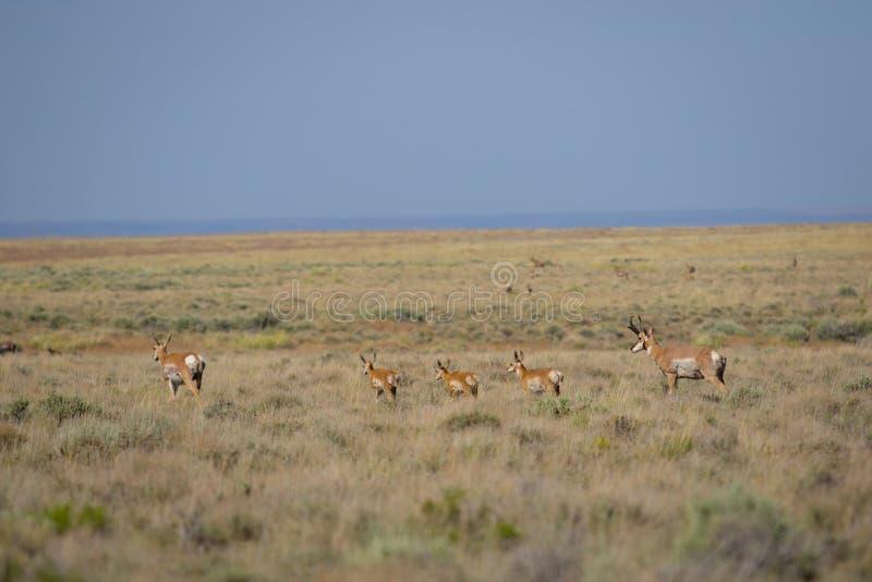 Antilop i öknen royaltyfria bilder