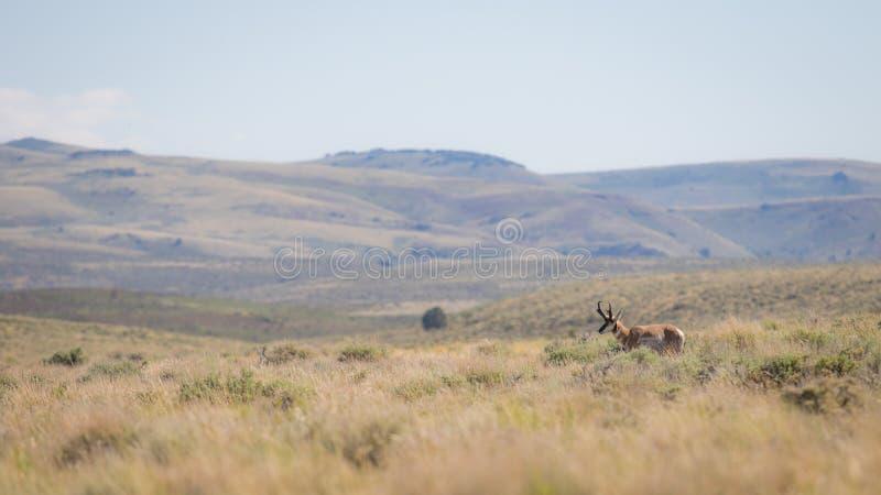Antilop i öknen arkivbild