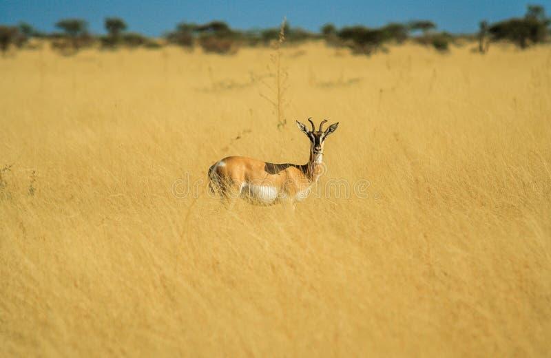 Antilop i en Afrika Savannah royaltyfria bilder