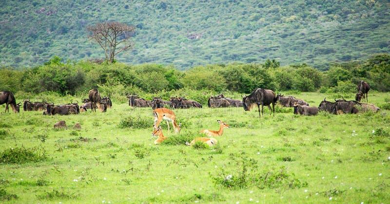 Antilop impala och gnu som betar i äng i den afrikanska savannahen royaltyfri bild