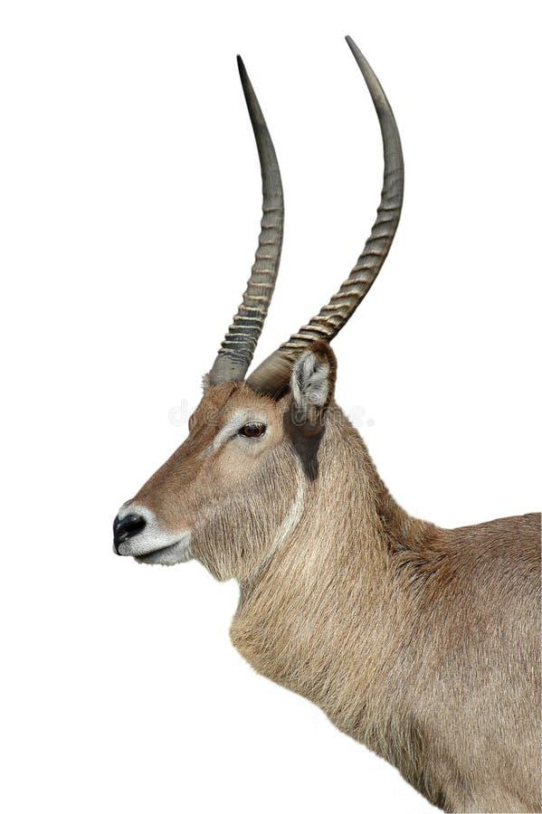 antilop isolerad waterbuckwhite arkivbild