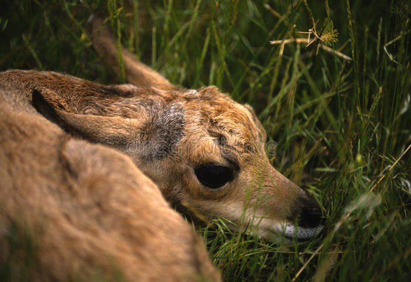 antilop lismar ståenden arkivbild
