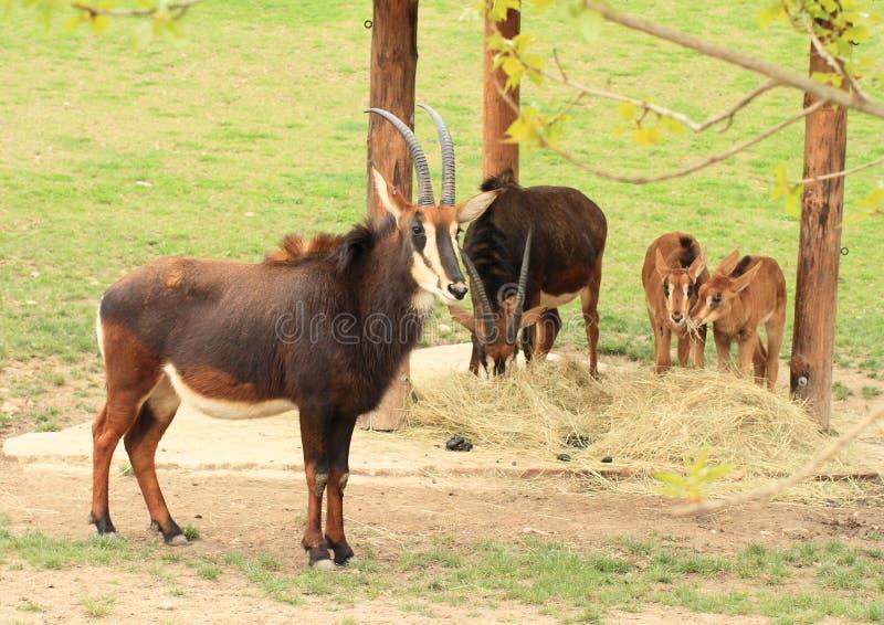 Antilop med valper royaltyfri bild