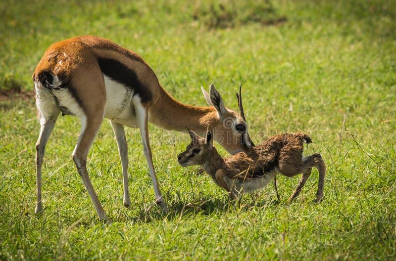 Antilop Thompson och hennes nyfött behandla som ett barn i masaien Mara, Kenya arkivfoton