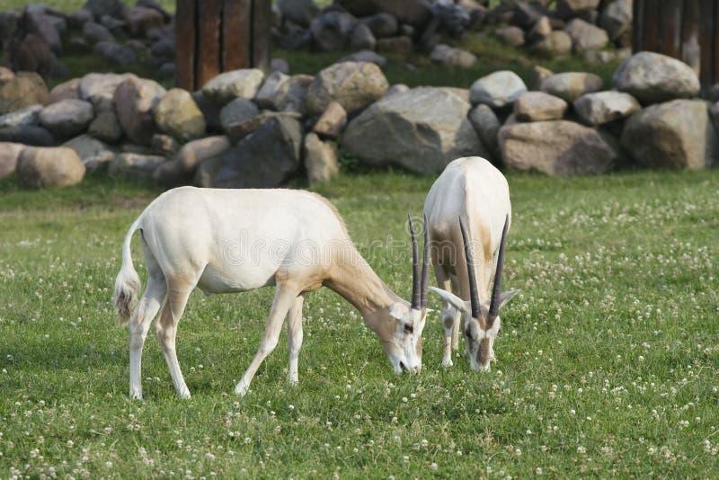 antilop två fotografering för bildbyråer