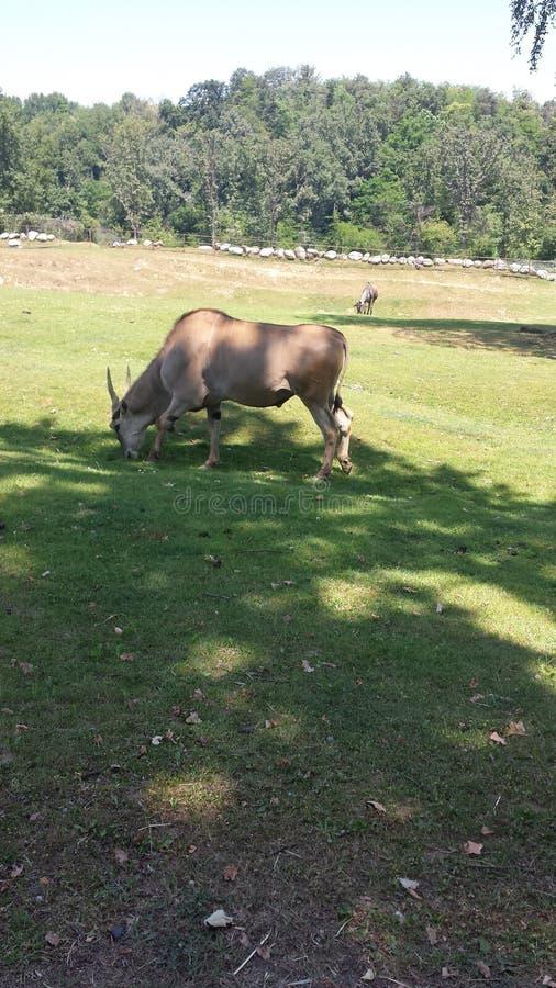 antilopa牛羚 库存照片