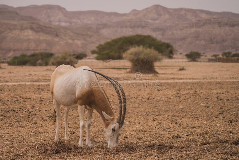 Antilope в десерте Израиля стоковая фотография