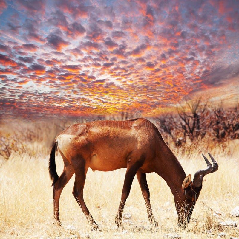 Antilope immagine stock libera da diritti