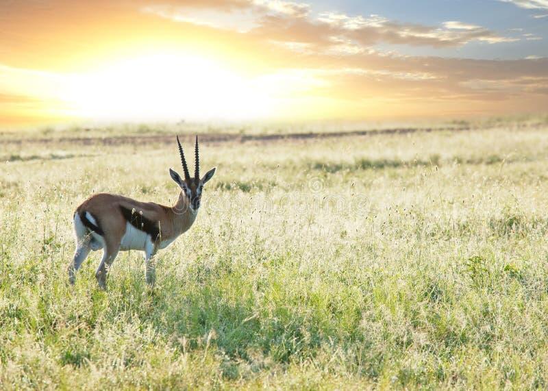 Antilope lizenzfreie stockfotografie