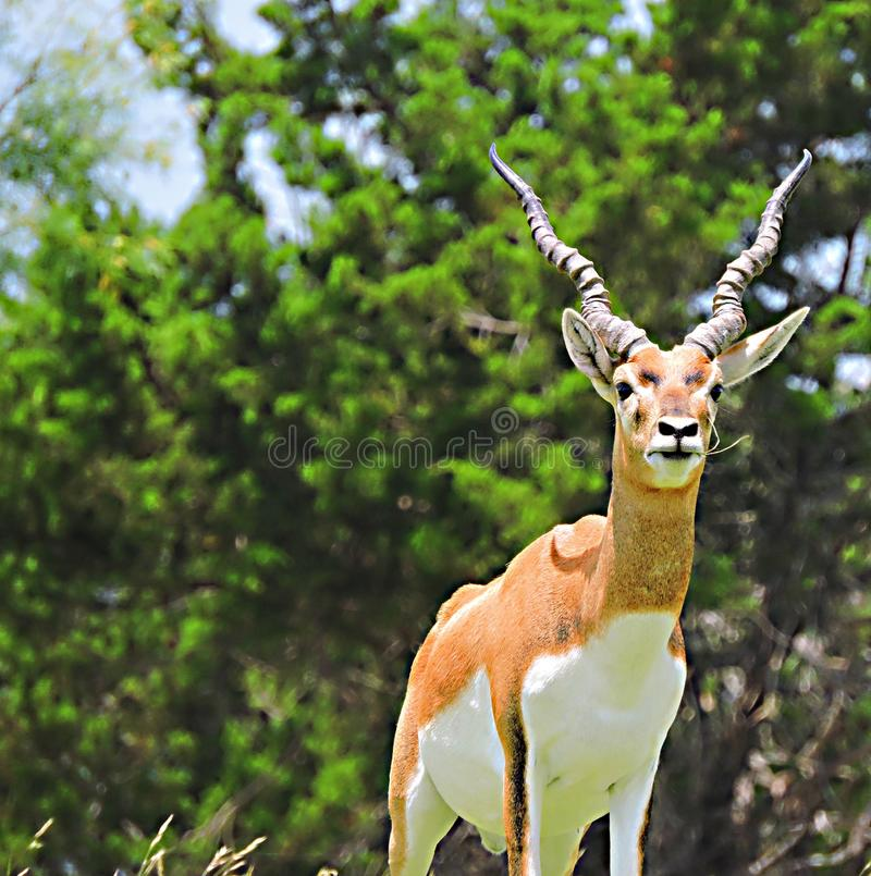 antilope photos stock