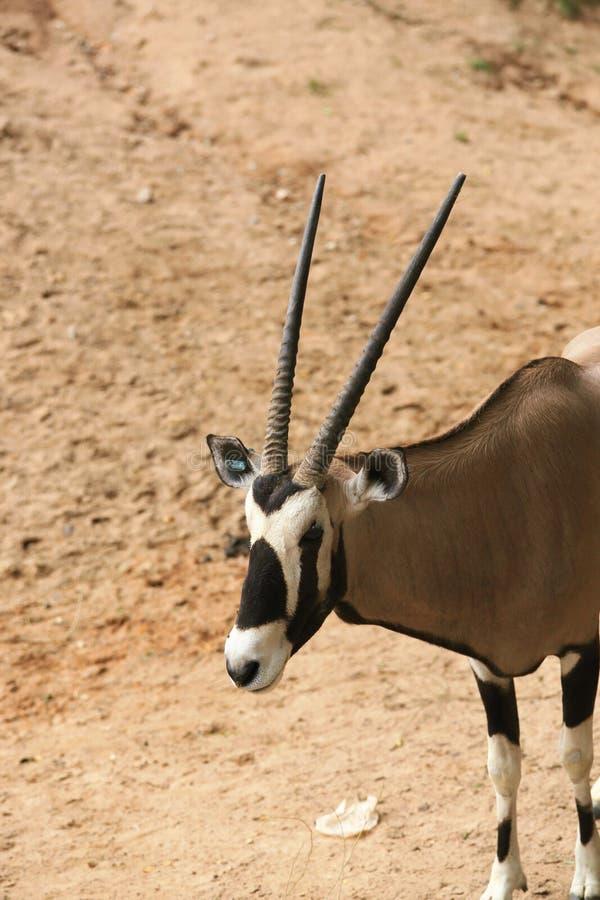antilope photo stock