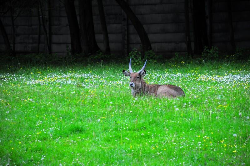 antilope stockfoto