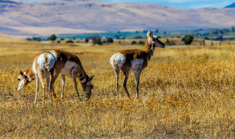 Download Antilope image stock. Image du vite, antilope, femelles - 77150803