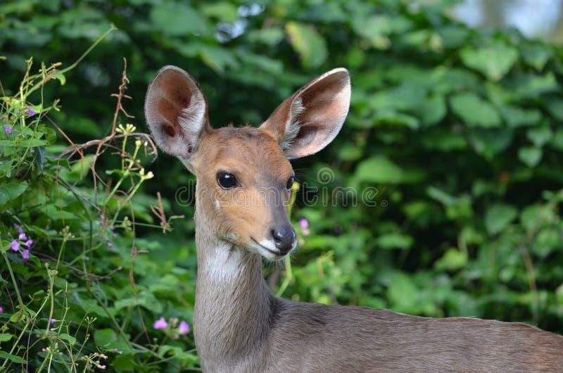 antilope stock afbeelding