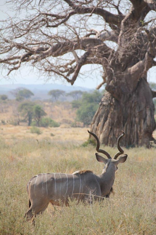Antilope al parco nazionale di Ruaha, Tanzania Africa orientale immagini stock libere da diritti