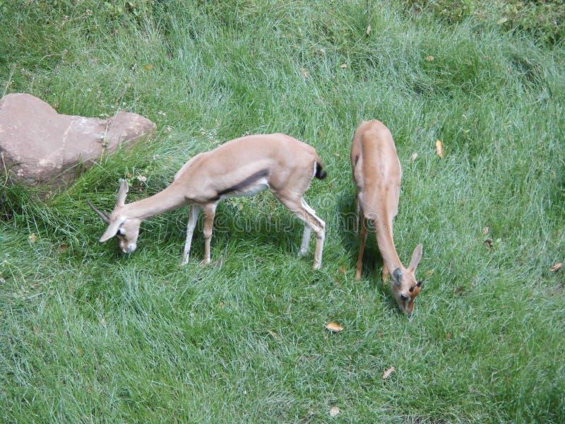 Antilope, antylopa/ zdjęcia stock