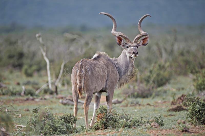 Antilope attentive photos stock