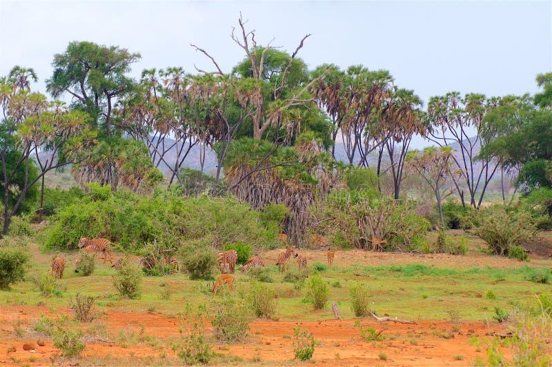 Antilope auf dem Weiden lassen in Afrika lizenzfreie stockfotos
