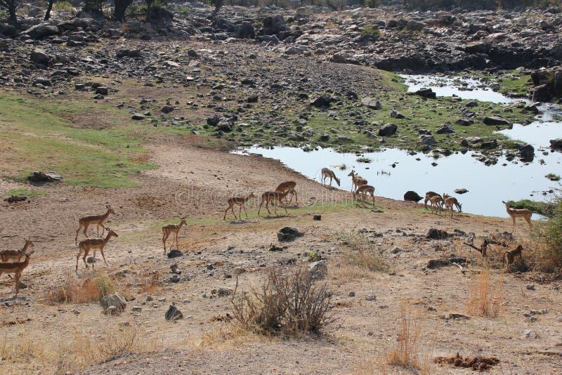 Antilope bij het nationale park van Ruaha, Tanzania Oost-Afrika stock afbeeldingen