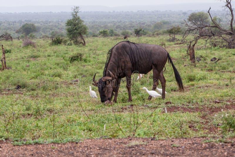 Antilope blu dello gnu che pasce immagine stock libera da diritti