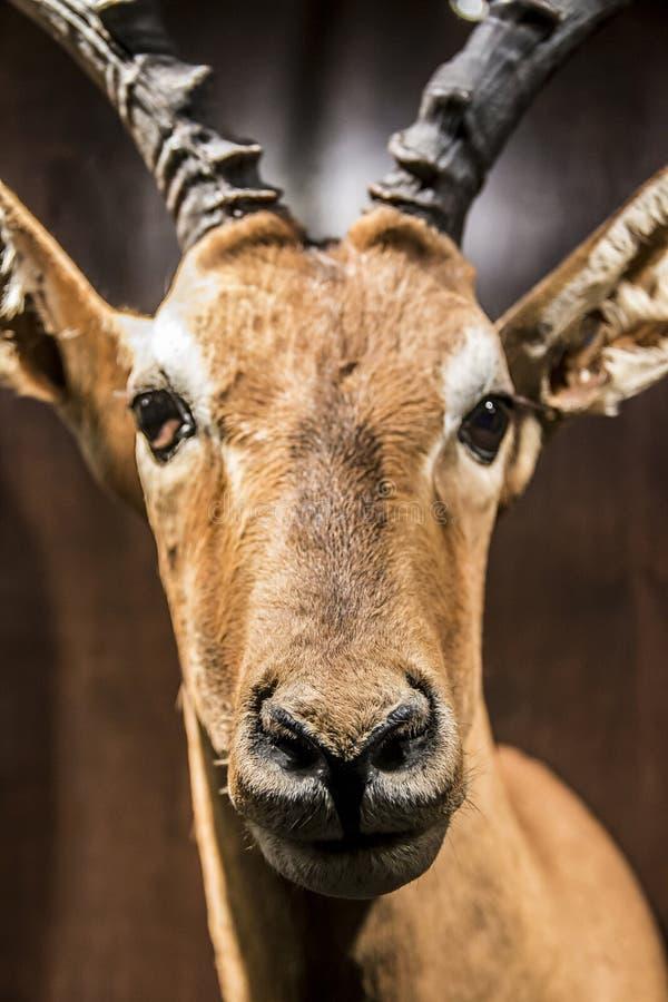 Antilope bourrée au musée de Harvard de l'histoire naturelle, Boston, le Massachusetts image libre de droits