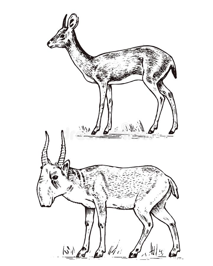 Antilope, cerfs communs ou daine sauvages africains Saiga et dik-dik Un animal dans un safari Mammifère de vintage, vieux tiré pa illustration de vecteur