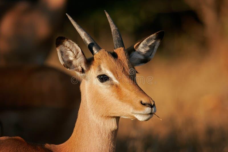 Antilope d'Impala photo libre de droits