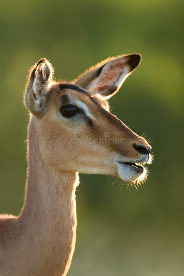 Antilope d'Impala images libres de droits