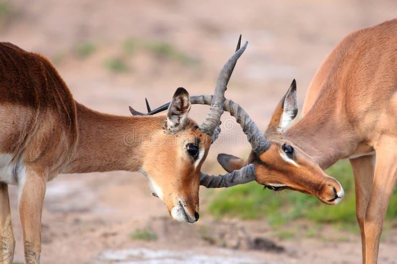 Antilope d'Impala de combat photo libre de droits