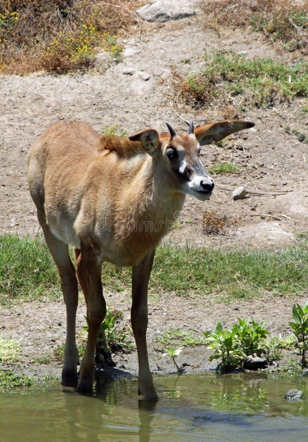 Antilope d'Oryx photo stock