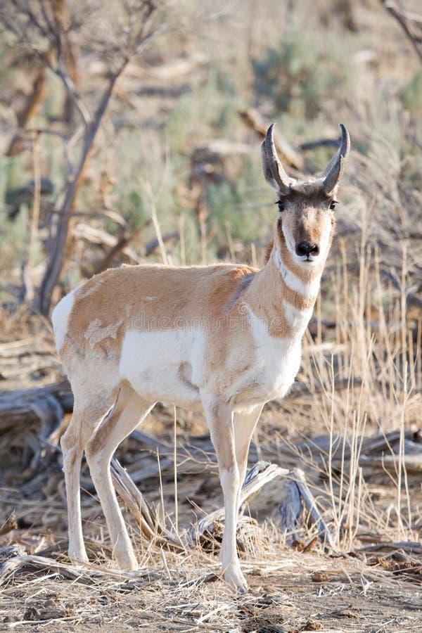 Antilope dans le sauvage image stock