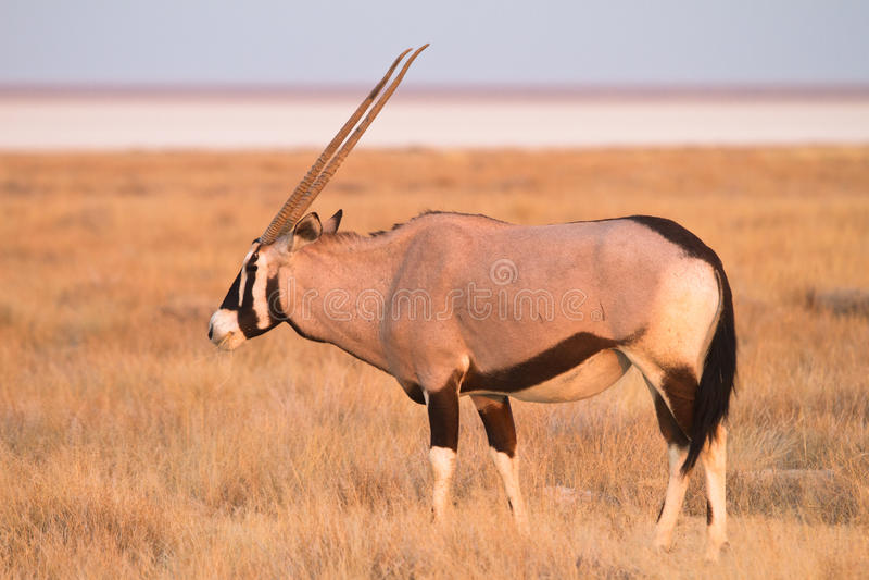 Antilope de Gemsbok image libre de droits