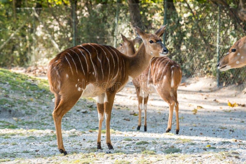 Antilope de Nyala - angasii de Tragelaphus Animal sauvage de la vie photo libre de droits